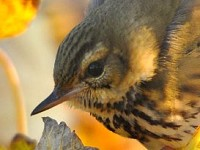 British Birds Olive-backed Pipit to be removed from the BBRC list for 2013