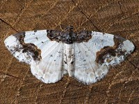 Moth News Double whammy for Britain's moths