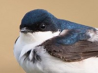 BTO Where on Earth do British House Martins go?
