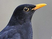 Research City life turns Blackbirds into early birds
