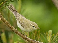 Rarity finders Greenish Warbler, Lancashire