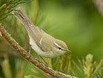 Rarity finders Greenish Warbler, Lancashire