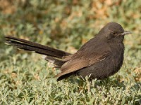 Rare Western Palearctic birds Black Bush Robin