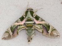 Research Hawkmoths zap bats with sonic blasts from their genitals