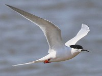 Articles A short history of ringing Roseate Terns on Coquet Island