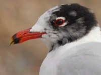 Focus On Mediterranean Gulls