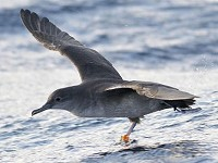 Seawatch SW Project Shearwater: Summer 2013 update