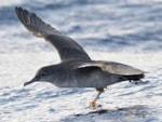Seawatch SW Project Shearwater: Summer 2013 update