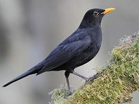 BTO Bye-bye Blackbird