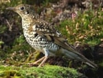 Rarity finders Fair Isle's White's Thrush - a bird to take years off you!