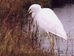 Articles Snowy Egret - First British Record