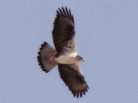 Research Long-term study examines Western European Bonelli's Eagle populations