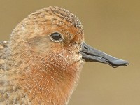 BTO New hope for two of the world's most endangered shorebirds