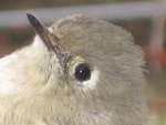 Rarity finders Ruby-crowned Kinglet, Cape Clear