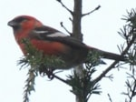 Rarity finders Two-barred Crossbills in the Forest of Dean