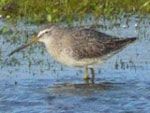 Rarity finders Short-billed Dowitcher on North Ronaldsay, Orkney