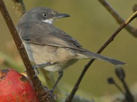 Rarity finders Western Orphean Warbler, Pembrokeshire