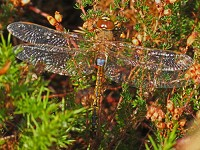 British Dragonfly Society Vagrant Emperors in autumn 2013
