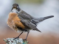 Rarity finders American Robin on South Uist
