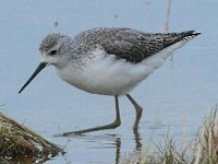 Rarity finders Marsh Sandpiper on North Uist