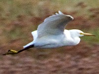 Articles An unusual egret in Kent