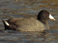 Rarity finders American Coot, Highland