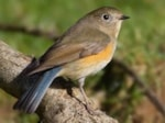 Rarity finders Red-flanked Bluetail, Gloucestershire