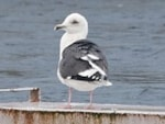 Rarity finders Slaty-backed Gull, Galway