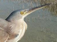 Rare Western Palearctic birds Yellow Bitterns breeding in Egypt