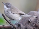 Articles The Siberian Lesser Whitethroat in Tynemouth