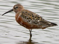 Focus On Curlew Sandpipers