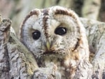 Research Tawny Owls in trouble in a changing world