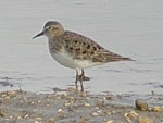 Focus On Temminck's Stints in Spring 2004 - A Record influx