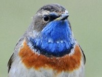 Focus On White-spotted Bluethroat