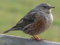 Rarity finders Alpine Accentor at Holme