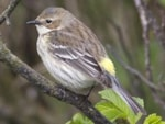 Rarity finders Yellow-rumped Warbler
