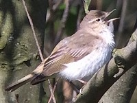 Rarity finders The Eastern Bonelli's Warbler at Newbiggin