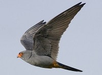 Focus On Red-footed Falcon