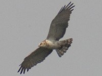 Rarity finders Short-toed Eagle in Dorset