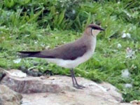 Rarity finders Black-winged Pratincole in Northumberland