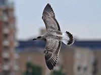 Focus On Summer Yellow-legged Gulls