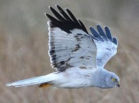 Articles Hen Harriers: in the line of fire