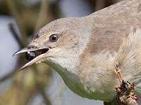 Focus On Early autumn passerine migration