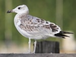 Rarity finders Pallas's Gull in Oslo - a Norwegian first