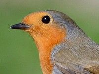 BTO Robins take a break from British gardens due to extremely mild winter