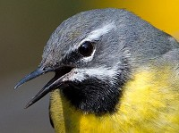 BTO Breeding Bird Survey shows Britain's wagtails are on the decline