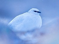 Photographing Scottish Highland specialities Ptarmigan in winter