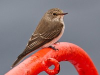 Birding abroad Harwich to Norway via Iceland: cruising with birds