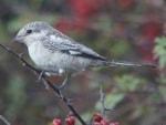 Rarity finders Masked Shrike at Kilnsea