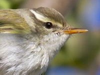 Rarity finders Eastern Crowned Warbler in Cleveland